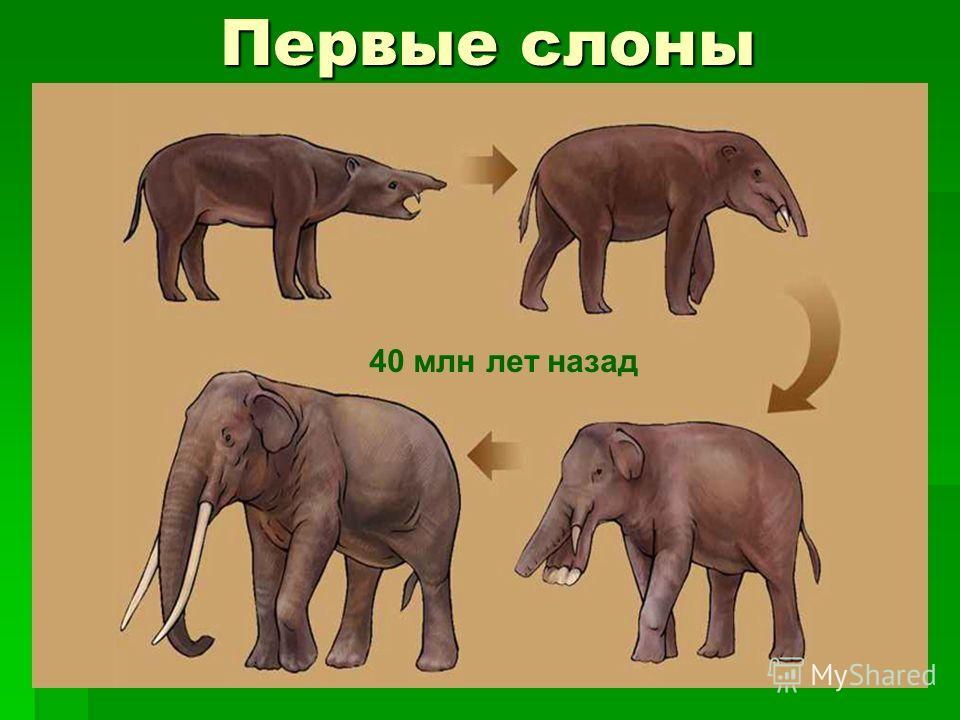 Первые слоны 40 млн лет назад