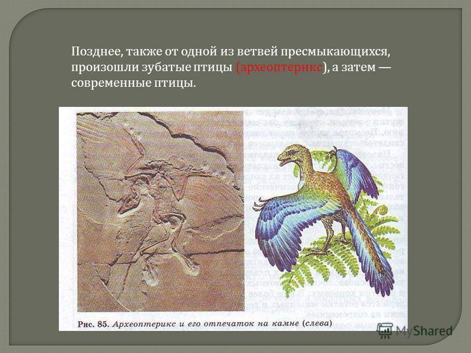 Позднее, также от одной из ветвей пресмыкающихся, произошли зубатые птицы (археоптерикс), а затем современные птицы.