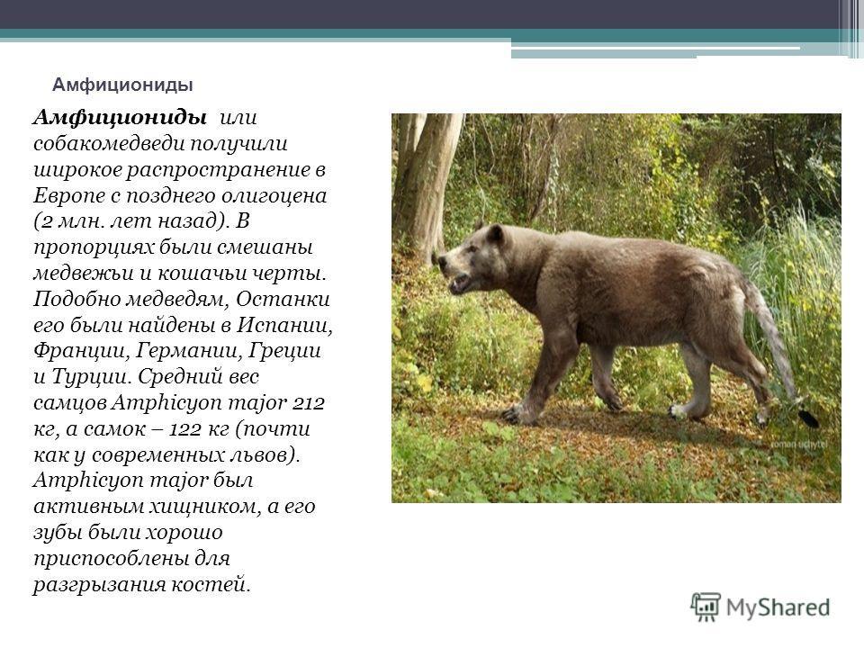 Амфициониды Амфициониды или собакомедведи получили широкое распространение в Европе с позднего олигоцена (2 млн. лет назад). В пропорциях были смешаны медвежьи и кошачьи черты. Подобно медведям, Останки его были найдены в Испании, Франции, Германии,