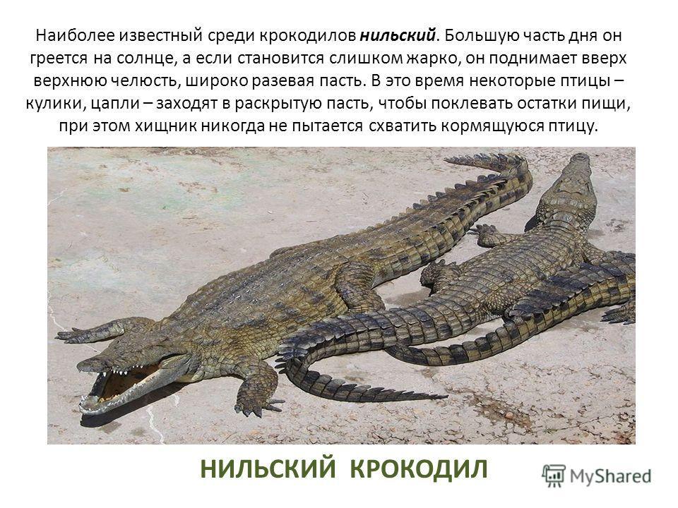 Наиболее известный среди крокодилов нильский. Большую часть дня он греется на солнце, а если становится слишком жарко, он поднимает вверх верхнюю челюсть, широко разевая пасть. В это время некоторые птицы – кулики, цапли – заходят в раскрытую пасть,