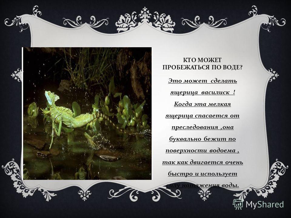 КТО МОЖЕТ ПРОБЕЖАТЬСЯ ПО ВОДЕ ? Это может сделать ящерица василиск ! Когда эта мелкая ящерица спасается от преследования, она буквально бежит по поверхности водоема, так как двигается очень быстро и использует силу натяжения воды.