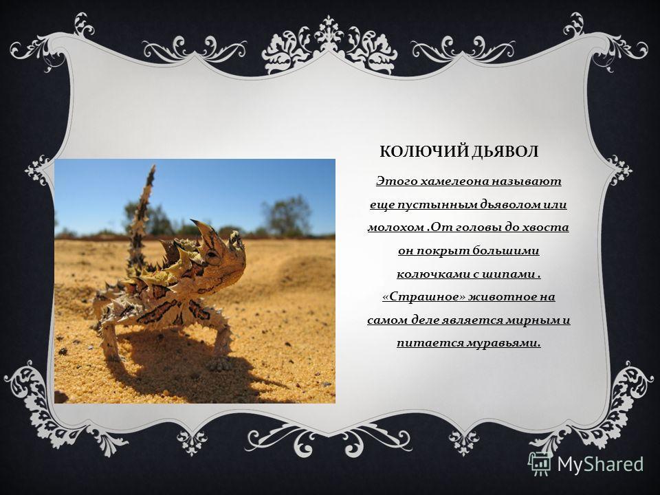 КОЛЮЧИЙ ДЬЯВОЛ Этого хамелеона называют еще пустынным дьяволом или молохом. От головы до хвоста он покрыт большими колючками с шипами. « Страшное » животное на самом деле является мирным и питается муравьями.