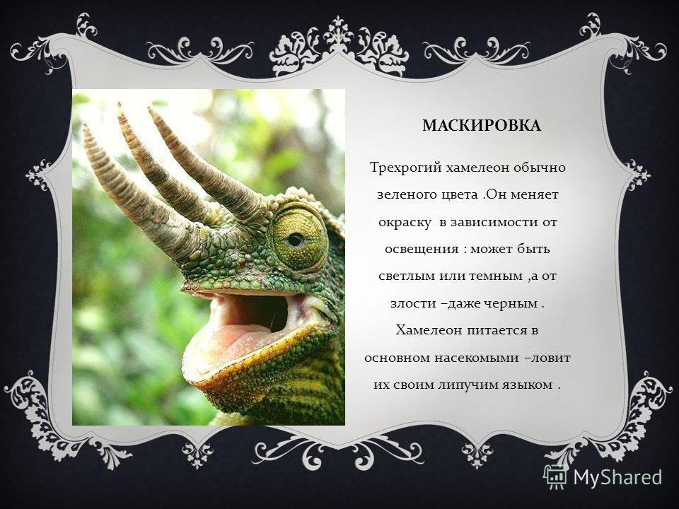 МАСКИРОВКА Трехрогий хамелеон обычно зеленого цвета. Он меняет окраску в зависимости от освещения : может быть светлым или темным, а от злости – даже черным. Хамелеон питается в основном насекомыми – ловит их своим липучим языком.