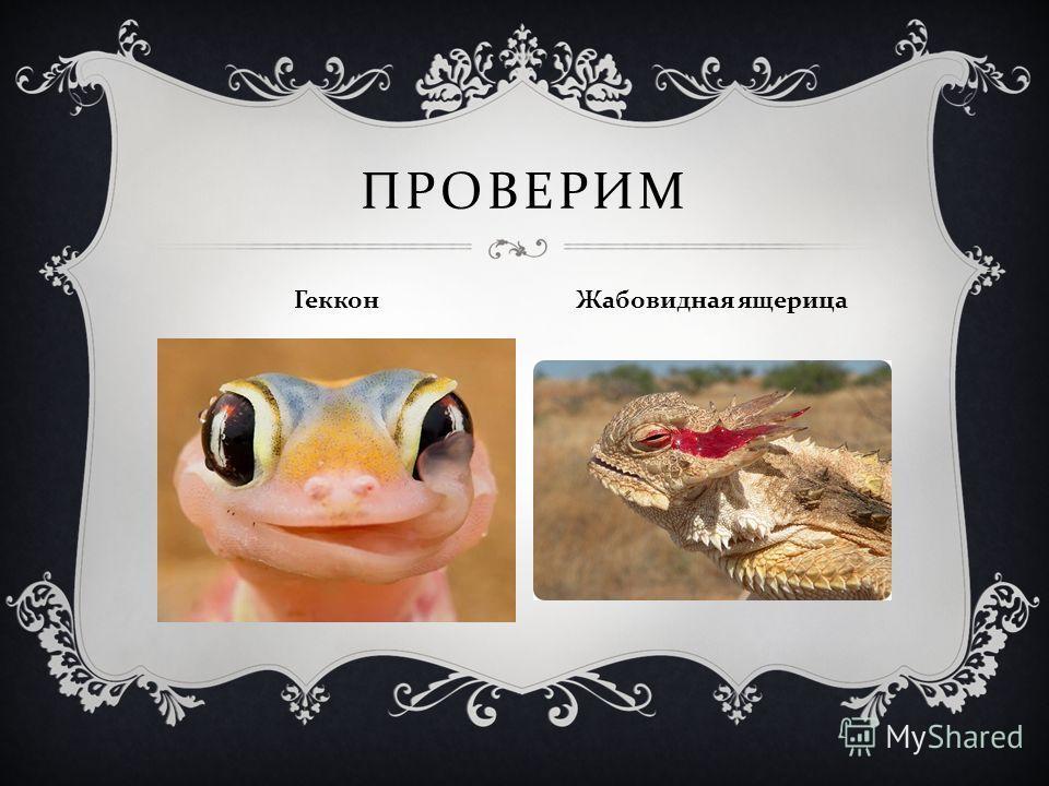 ПРОВЕРИМ Геккон Жабовидная ящерица