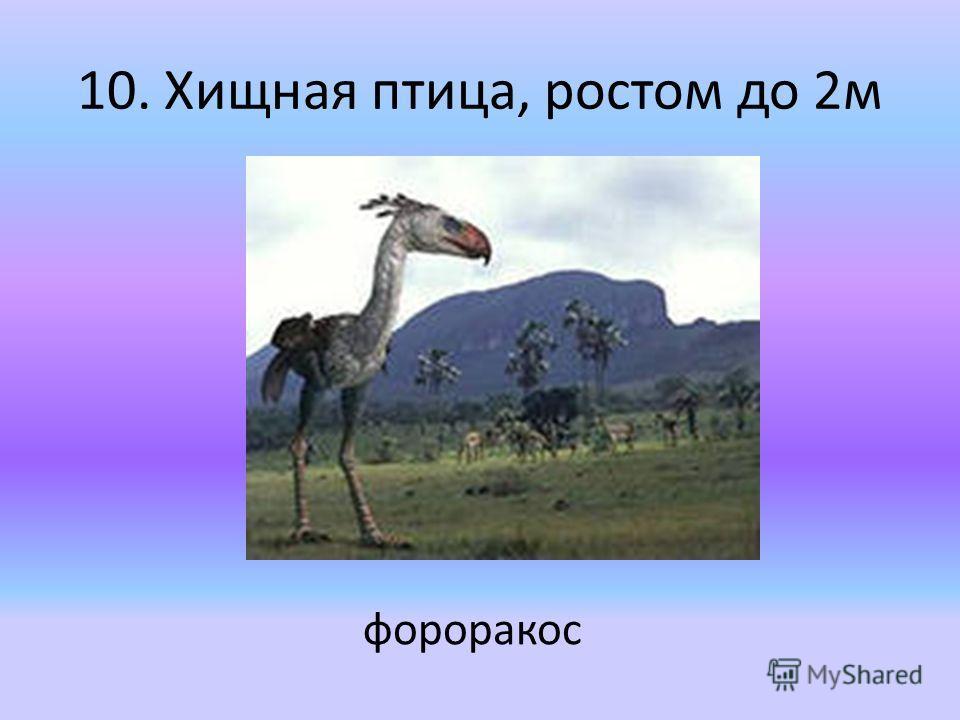 10. Хищная птица, ростом до 2 м фороракос