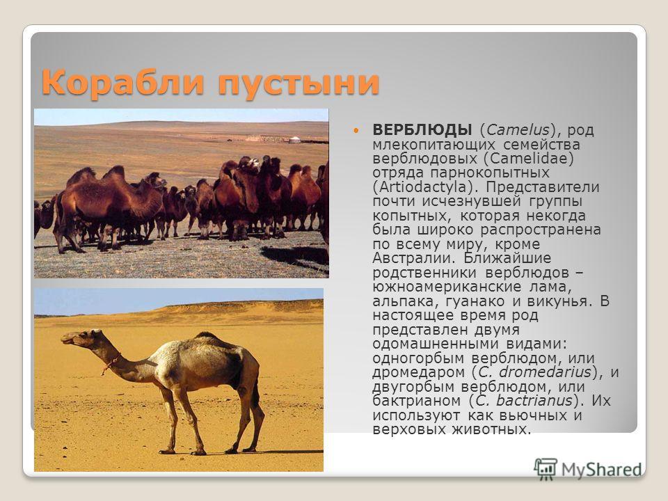 Корабли пустыни ВЕРБЛЮДЫ (Camelus), род млекопитающих семейства верблюдовых (Camelidae) отряда парнокопытных (Artiodactyla). Представители почти исчезнувшей группы копытных, которая некогда была широко распространена по всему миру, кроме Австралии. Б