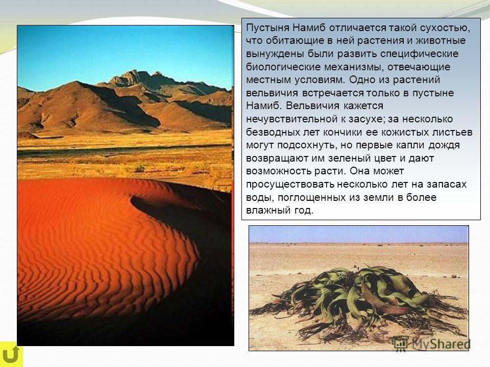 Пустыня Намиб отличается такой сухостью, что обитающие в ней растения и животные вынуждены были развить специфические биологические механизмы, отвечающие местным условиям. Одно из растений вельвичия встречается только в пустыне Намиб. Вельвичия кажет