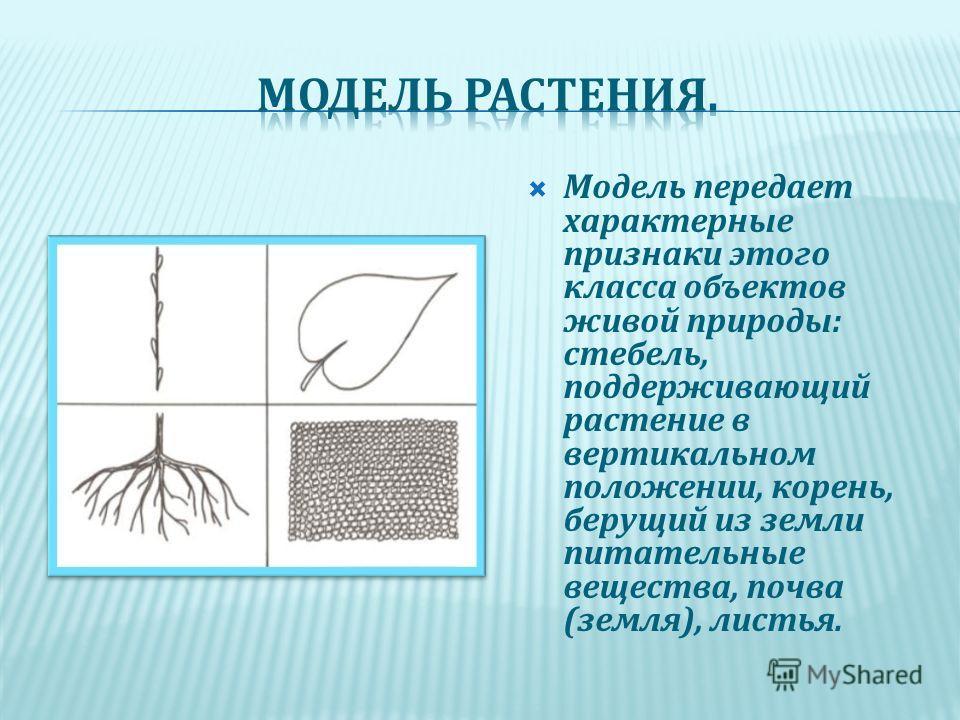 Модель передает характерные признаки этого класса объектов живой природы: стебель, поддерживающий растение в вертикальном положении, корень, берущий из земли питательные вещества, почва (земля), листья.