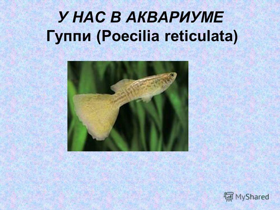 У НАС В АКВАРИУМЕ Гуппи (Poecilia reticulata)