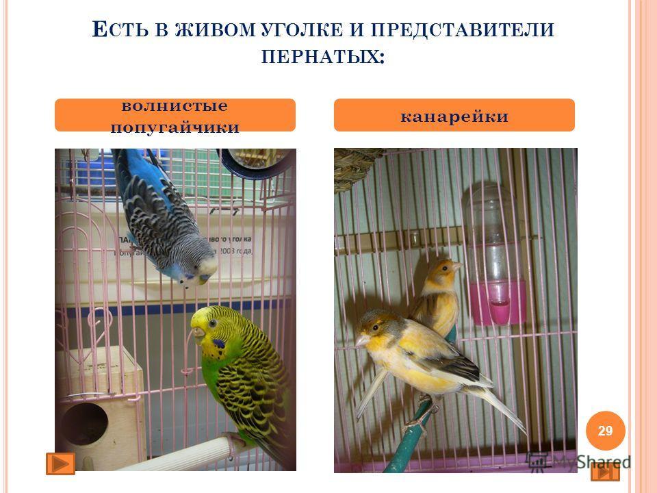 Е СТЬ В ЖИВОМ УГОЛКЕ И ПРЕДСТАВИТЕЛИ ПЕРНАТЫХ : волнистые попугайчики канарейки 29
