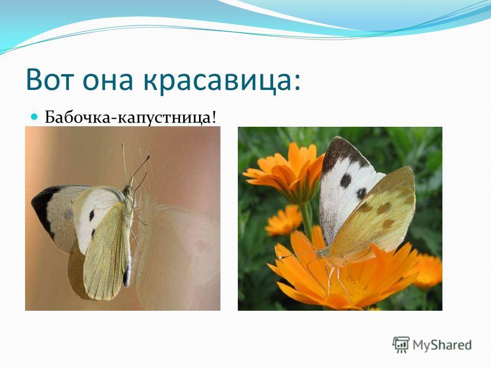 Вот она красавица: Бабочка-капустница!