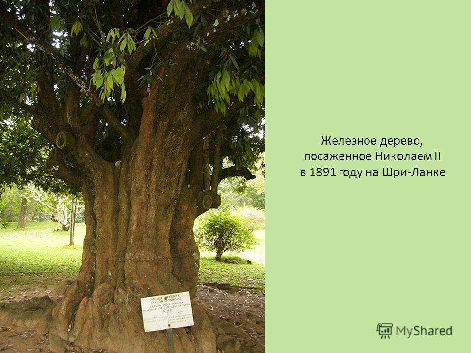 Железное дерево, посаженное Николаем II в 1891 году на Шри-Ланке