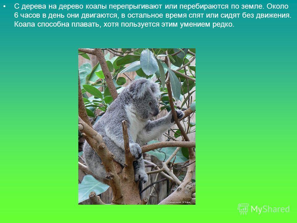 С дерева на дерево коалы перепрыгивают или перебираются по земле. Около 6 часов в день они двигаются, в остальное время спят или сидят без движения. Коала способна плавать, хотя пользуется этим умением редко.