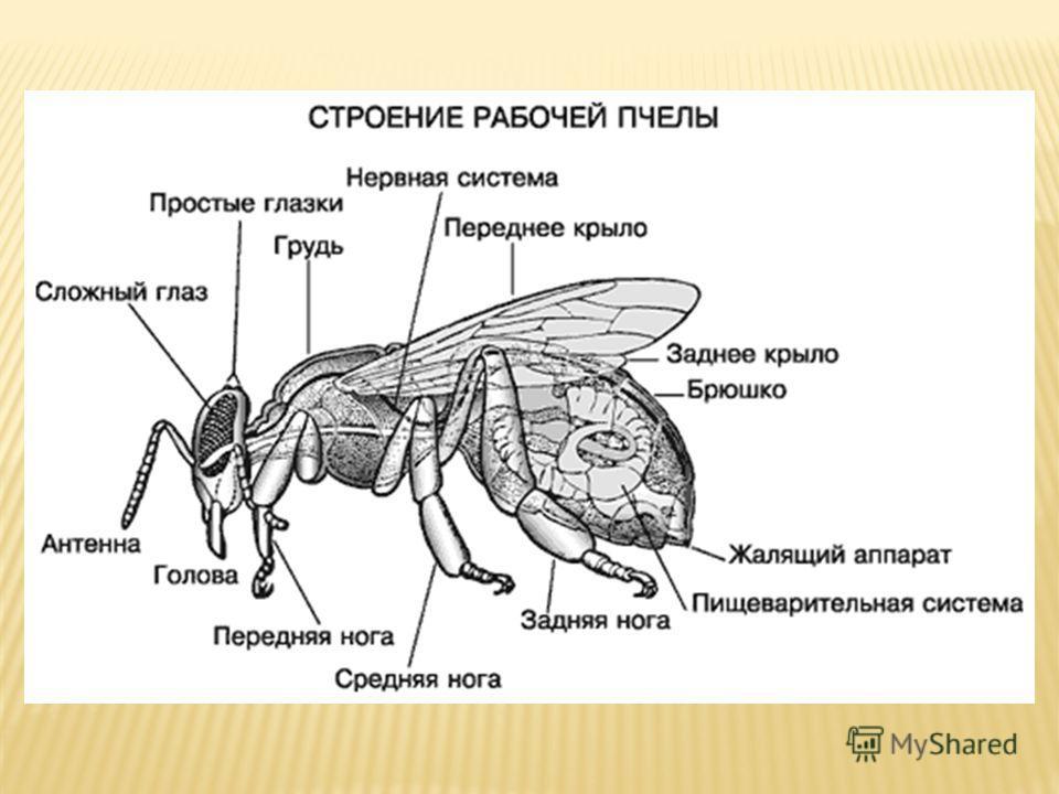 Матка Рабочие пчёлы Медоносные пчёлы Трутень