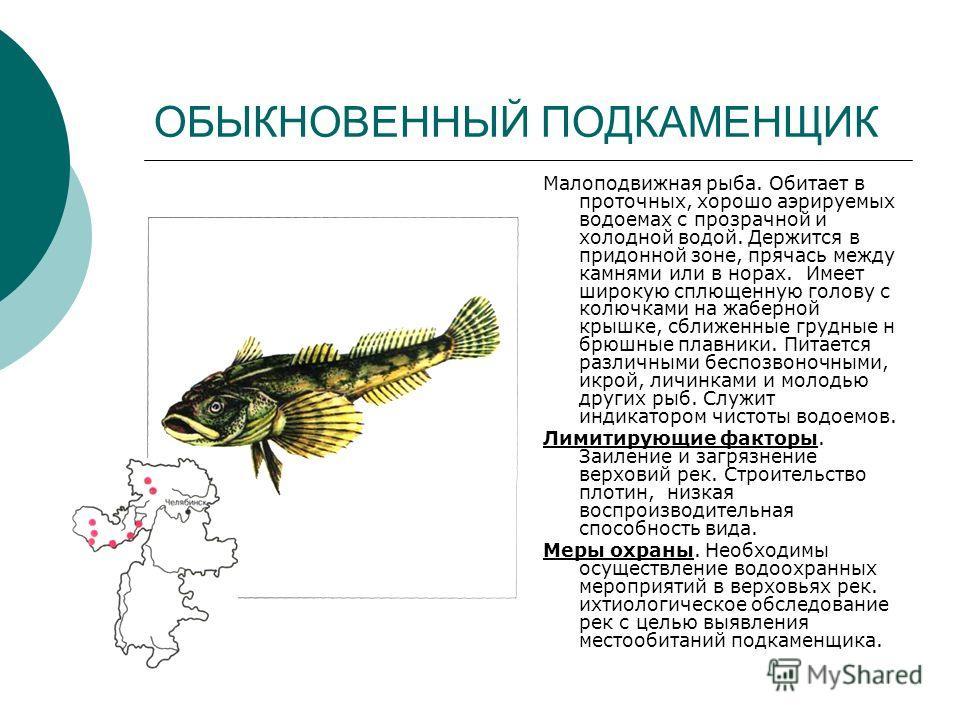 ОБЫКНОВЕННЫЙ ПОДКАМЕНЩИК Малоподвижная рыба. Обитает в проточных, хорошо аэрируемых водоемах с прозрачной и холодной водой. Держится в придонной зоне, прячась между камнями или в норах. Имеет широкую сплющенную голову с колючками на жаберной крышке,