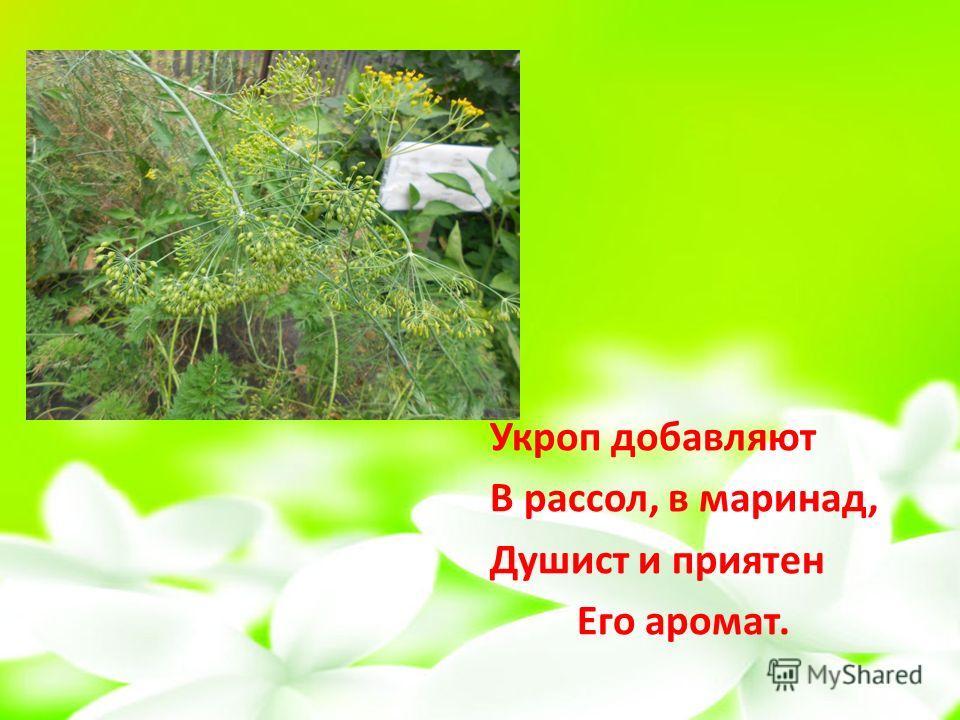 Укроп добавляют В рассол, в маринад, Душист и приятен Его аромат.