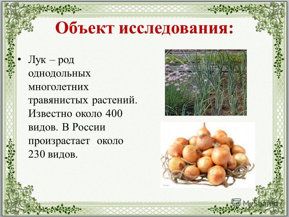 Объект исследования: Лук – род однодольных многолетних травянистых растений. Известно около 400 видов. В России произрастает около 230 видов.