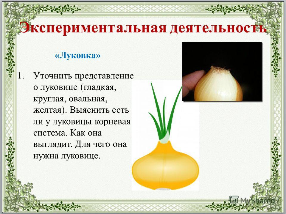 Экспериментальная деятельность «Луковка» 1. Уточнить представление о луковице (гладкая, круглая, овальная, желтая). Выяснить есть ли у луковицы корневая система. Как она выглядит. Для чего она нужна луковице.