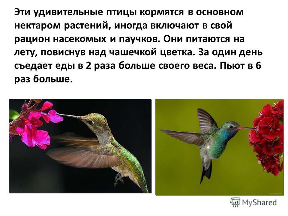 Эти удивительные птицы кормятся в основном нектаром растений, иногда включают в свой рацион насекомых и паучков. Они питаются на лету, повиснув над чашечкой цветка. За один день съедает еды в 2 раза больше своего веса. Пьют в 6 раз больше.