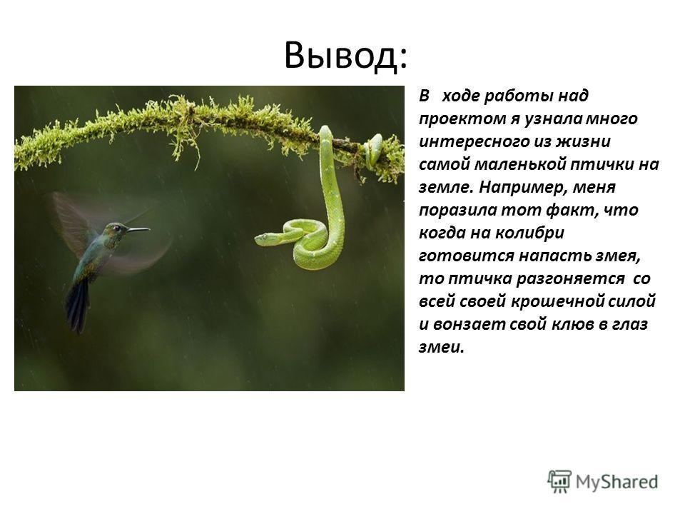 Вывод: В ходе работы над проектом я узнала много интересного из жизни самой маленькой птички на земле. Например, меня поразила тот факт, что когда на колибри готовится напасть змея, то птичка разгоняется со всей своей крошечной силой и вонзает свой к