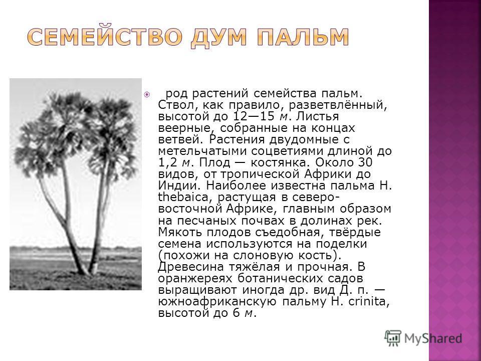 род растений семейства пальм. Ствол, как правило, разветвлённый, высотой до 1215 м. Листья веерные, собранные на концах ветвей. Растения двудомные с метельчатыми соцветиями длиной до 1,2 м. Плод костянка. Около 30 видов, от тропической Африки до Инди