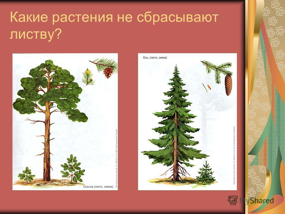 Какие растения не сбрасывают листву?