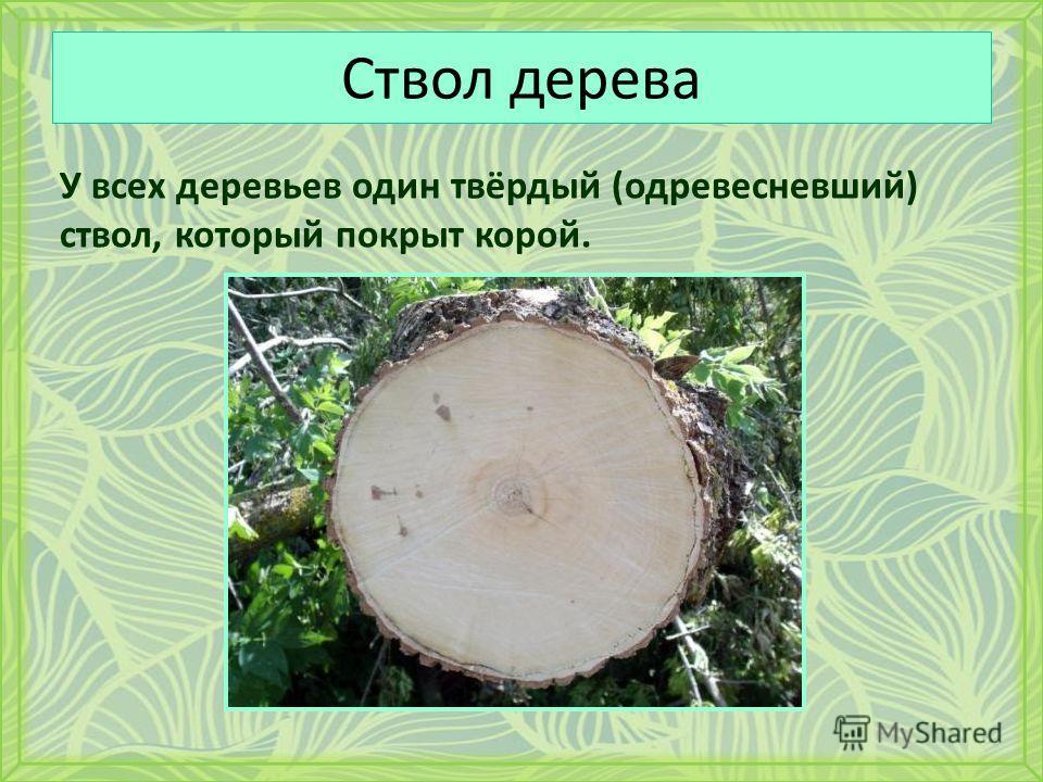 Ствол дерева У всех деревьев один твёрдый (одревесневший) ствол, который покрыт корой.