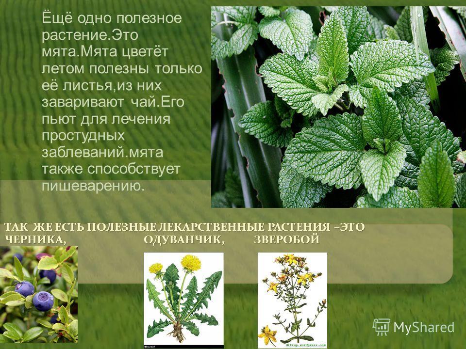 ТАК ЖЕ ЕСТЬ ПОЛЕЗНЫЕ ЛЕКАРСТВЕННЫЕ РАСТЕНИЯ –ЭТО ЧЕРНИКА, ОДУВАНЧИК, ЗВЕРОБОЙ Ёщё одно полезное растение.Это мята.Мята цветёт летом полезны только её листья,из них заваривают чай.Его пьют для лечения простудных заблеваний.мята также способствует пише