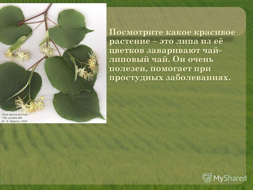 Посмотрите какое красивое растение – это липа из её цветков заваривают чай- липовый чай. Он очень полезен, помогает при простудных заболеваниях.