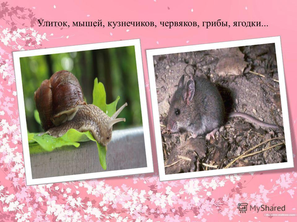 Улиток, мышей, кузнечиков, червяков, грибы, ягодки...