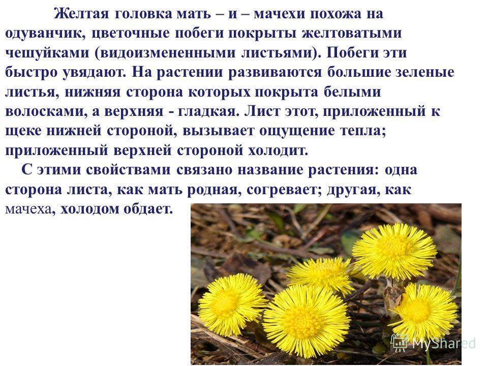 Желтая головка мать – и – мачехи похожа на одуванчик, цветочные побеги покрыты желтоватыми чешуйками (видоизмененными листьями). Побеги эти быстро увядают. На растении развиваются большие зеленые листья, нижняя сторона которых покрыта белыми волоскам