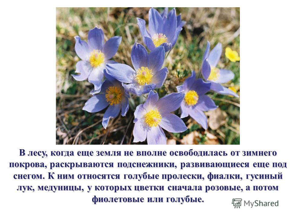 В лесу, когда еще земля не вполне освободилась от зимнего покрова, раскрываются подснежники, развивающиеся еще под снегом. К ним относятся голубые пролески, фиалки, гусиный лук, медуницы, у которых цветки сначала розовые, а потом фиолетовые или голуб