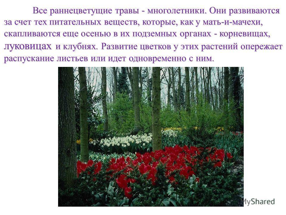 Все раннецветущие травы - многолетники. Они развиваются за счет тех питательных веществ, которые, как у мать-и-мачехи, скапливаются еще осенью в их подземных органах - корневищах, луковицах и клубнях. Развитие цветков у этих растений опережает распус