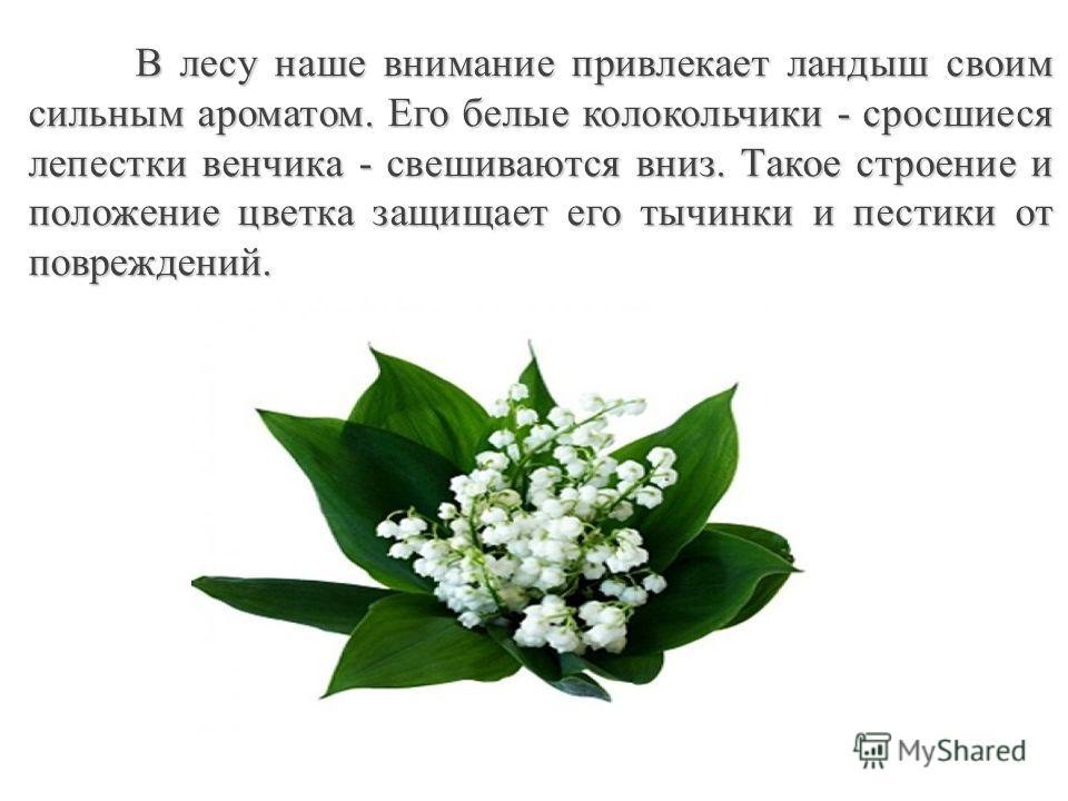 В лесу наше внимание привлекает ландыш своим сильным ароматом. Его белые колокольчики - сросшиеся лепестки венчика - свешиваются вниз. Такое строение и положение цветка защищает его тычинки и пестики от повреждений.