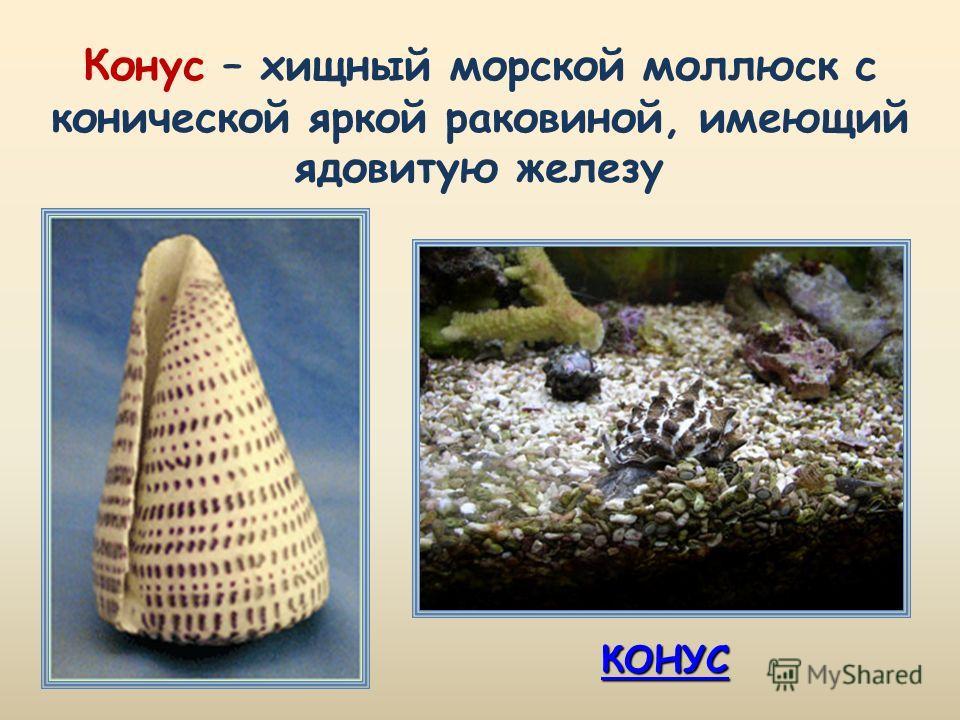 КОНУС Конус – хищный морской моллюск с конической яркой раковиной, имеющий ядовитую железу
