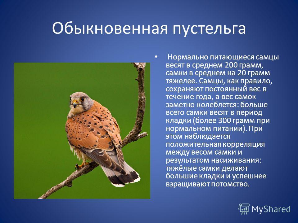 Обыкновенная пустельга Нормально питающиеся самцы весят в среднем 200 грамм, самки в среднем на 20 грамм тяжелее. Самцы, как правило, сохраняют постоянный вес в течение года, а вес самок заметно колеблется: больше всего самки весят в период кладки (б