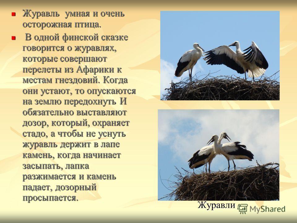 Журавль умная и очень осторожная птица. Журавль умная и очень осторожная птица. В одной финской сказке говорится о журавлях, которые совершают перелеты из Афарики к местам гнездовий. Когда они устают, то опускаются на землю передохнуть И обязательно