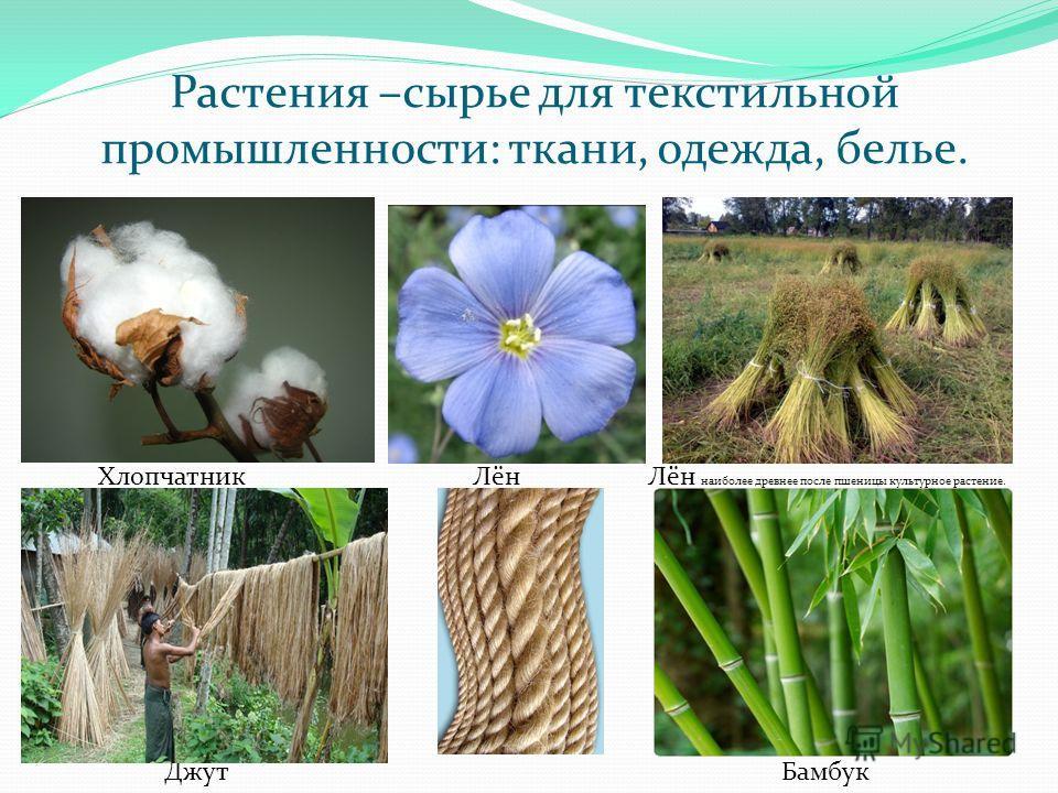 Растения –сырье для текстильной промышленности: ткани, одежда, белье. ХлопчатникЛёнЛён наиболее древнее после пшеницы культурное растение. Джут Бамбук