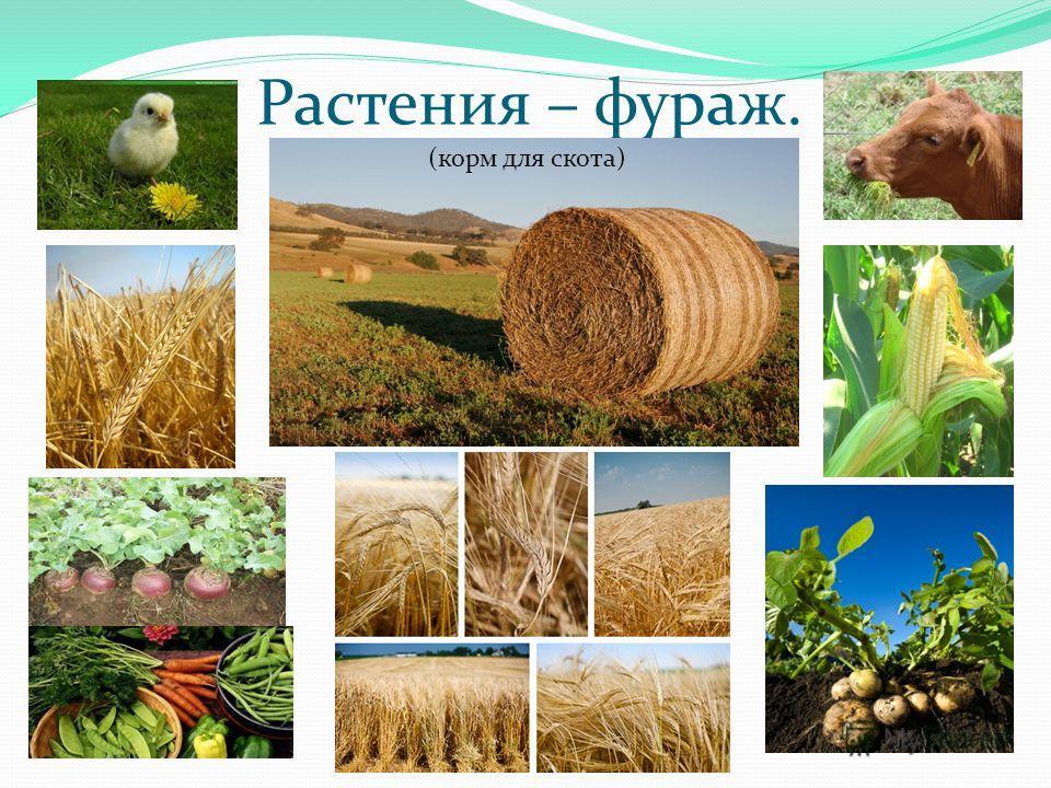 Растения – фураж. (корм для скота)