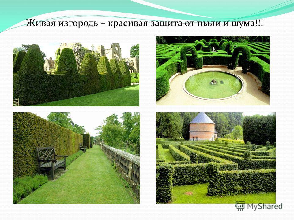 Живая изгородь – красивая защита от пыли и шума!!!