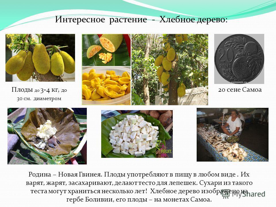 Интересное растение - Хлебное дерево: Родина – Новая Гвинея. Плоды употребляют в пищу в любом виде. Их варят, жарят, засахаривают, делают тесто для лепешек. Сухари из такого теста могут храниться несколько лет! Хлебное дерево изображено на гербе Боли