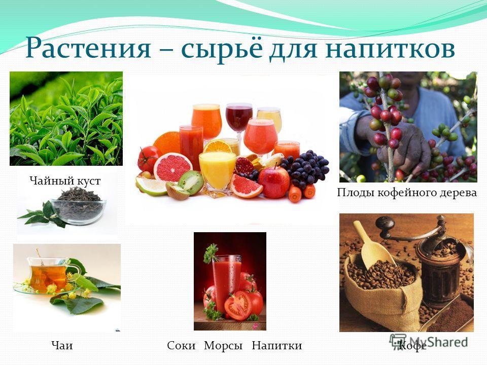 Растения – сырьё для напитков Чаи Соки Морсы Напитки Кофе Чайный куст Плоды кофейного дерева