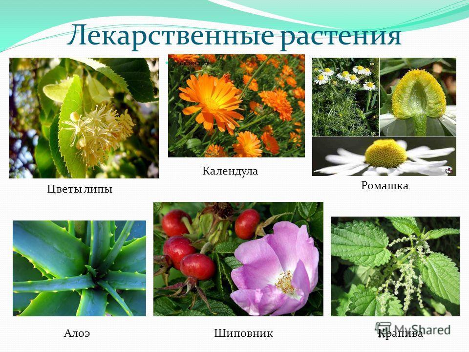 Лекарственные растения Календула Ромашка Цветы липы Крапива ШиповникАлоэ