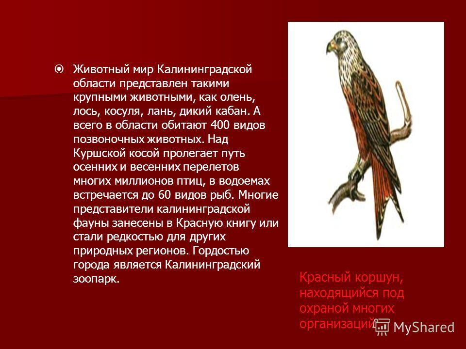 Животный мир Калининградской области представлен такими крупными животными, как олень, лось, косуля, лань, дикий кабан. А всего в области обитают 400 видов позвоночных животных. Над Куршской косой пролегает путь осенних и весенних перелетов многих ми
