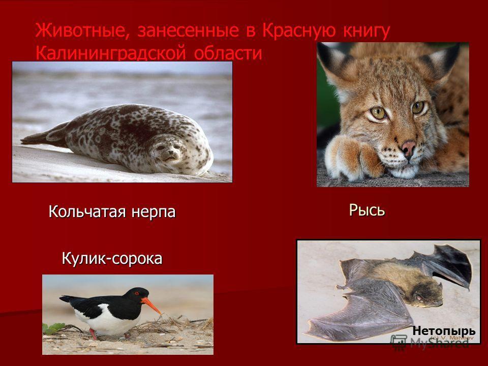 Животные, занесенные в Красную книгу Калининградской области Кольчатая нерпа Кулик-сорока Рысь Нетопырь