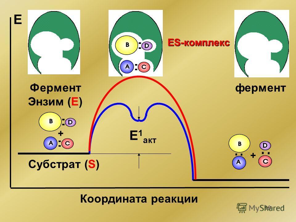 19 + + E 1 акт Е Координата реакции Фермент Энзим (Е) фермент ES-комплекс Субстрат (S)