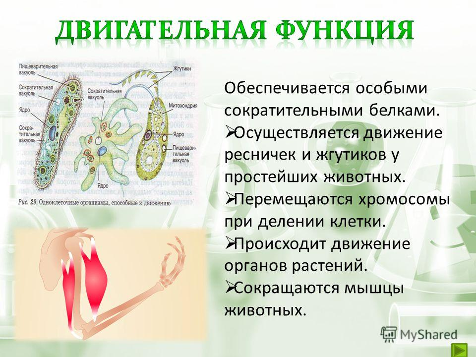 Обеспечивается особыми сократительными белками. Осуществляется движение ресничек и жгутиков у простейших животных. Перемещаются хромосомы при делении клетки. Происходит движение органов растений. Сокращаются мышцы животных.