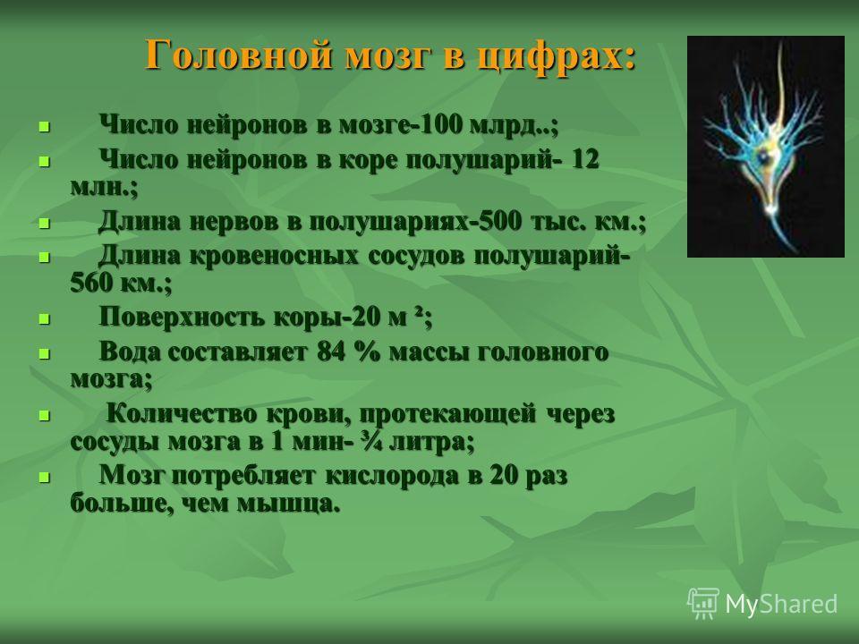 Головной мозг в цифрах: Число нейронов в мозге-100 млрд..; Число нейронов в мозге-100 млрд..; Число нейронов в коре полушарий- 12 млн.; Число нейронов в коре полушарий- 12 млн.; Длина нервов в полушариях-500 тыс. км.; Длина нервов в полушариях-500 ты
