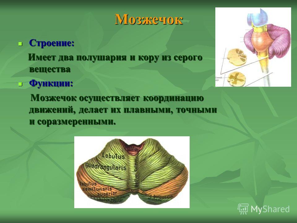 Мозжечок Строение: Строение: Имеет два полушария и кору из серого вещества Имеет два полушария и кору из серого вещества Функции: Функции: Мозжечок осуществляет координацию движений, делает их плавными, точными и соразмеренными. Мозжечок осуществляет