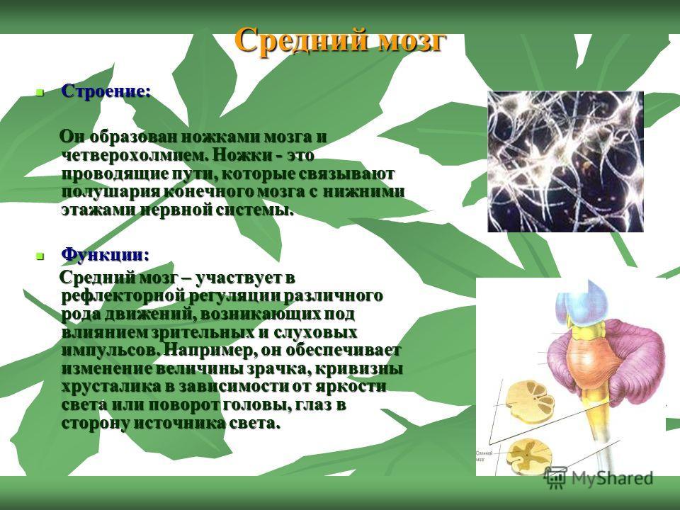 Средний мозг Строение: Строение: Он образован ножками мозга и четверохолмием. Ножки - это проводящие пути, которые связывают полушария конечного мозга с нижними этажами нервной системы. Он образован ножками мозга и четверохолмием. Ножки - это проводя